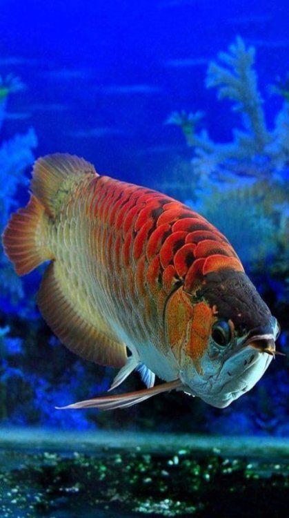 Jual Ikan Oscar Besar : oscar, besar, Arowana, Ideas, Dragon, Fish,, Aquarium