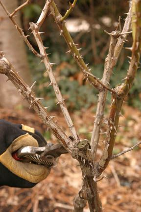 Dead Branch On Rose Bush When To Prune Roses Planting Roses Pruning Roses