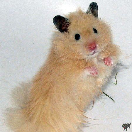 Syrian Hamster Black Eyed Ivory Satin Longhaired Syrian Hamster