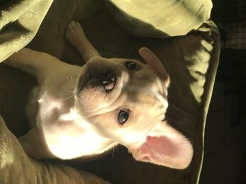 Litter Of 4 French Bulldog Puppies For Sale In Lakeland Fl Adn