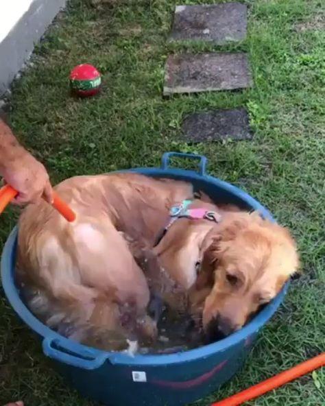 "goldenretriever_lilly® on Instagram: ""🛀 Bathtime @amora.golden.retriever .. .. .. ➡️NOTE: Use #lillyspicoftheweek and follow @goldenretriever_lilly to be featured! 😉 • • • • •…"""