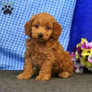 Cockapoo Puppies For Sale Cockapoo Dog Breed Info Greenfield Puppies Cockapoo Puppies Cockapoo Puppies For Sale Puppies For Sale