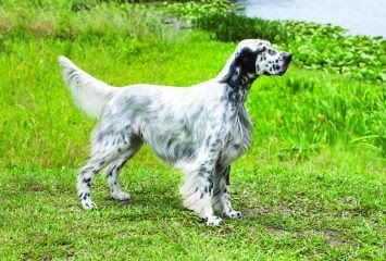 English Setter Puppies Mn With Images Setter Puppies English Setter Puppies English Setter Dogs