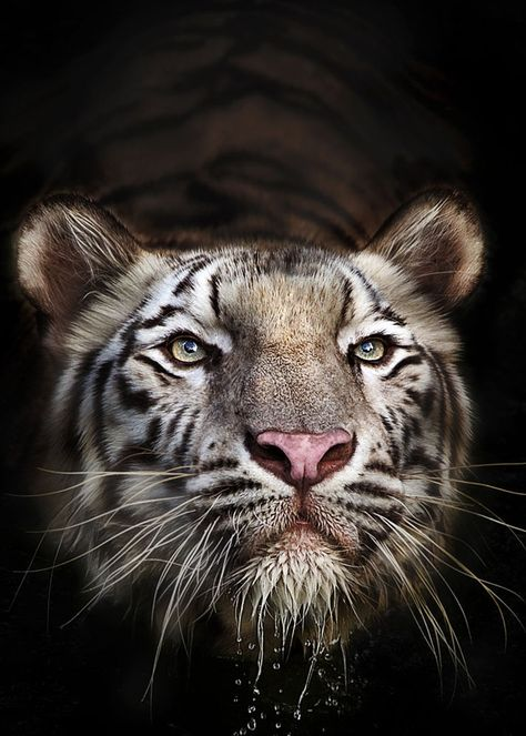 A Bengal Tiger.  (Photo By: Ivan Lee on 500px.)