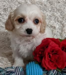 Alisha Cavachon Puppy For Sale In Dundee Oh Lancaster Puppies Cavachon Puppies Cavachon Lancaster Puppies