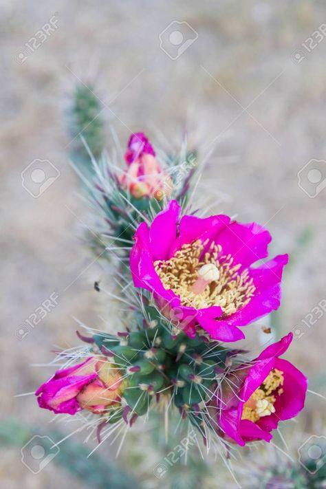 Cerca Fiori.Fiori Di Cactus Immagini Cerca Con Google Fiore Di Cactus