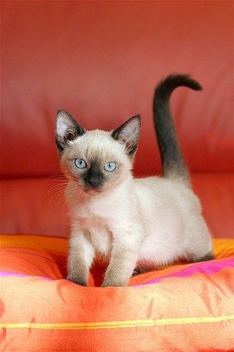 Siamese Cats Cats Tonkinese Cat