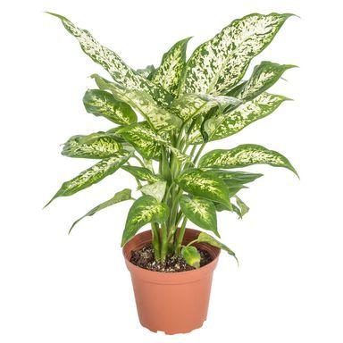 Difenbachia Mix 40 Cm Kwiaty Doniczkowe W Atrakcyjnej Cenie W Sklepach Leroy Merlin Plants Cactus Plants Flowers