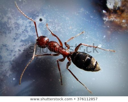 Carpenter Ant With Large Antennas Exploring A Milky White Surface