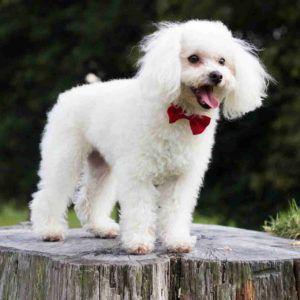 Miniature Poodle The Miniature Poodle May Descend From Either The
