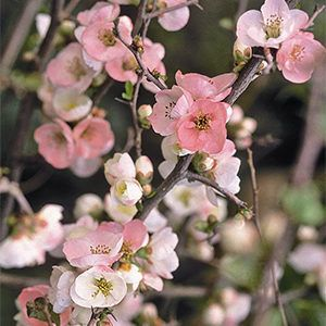 5 Perfect Plants For A North Facing Wall Grow Beautifully Flowering Quince Small North Facing Garden Ideas North Facing Garden