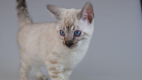 Pin On Bengal Kittens