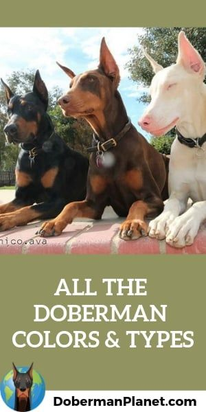 All The Colors And Types Of The Doberman Pinscher Doberman