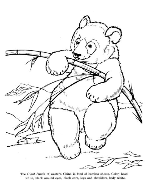 giant panda bear drawing and coloring page