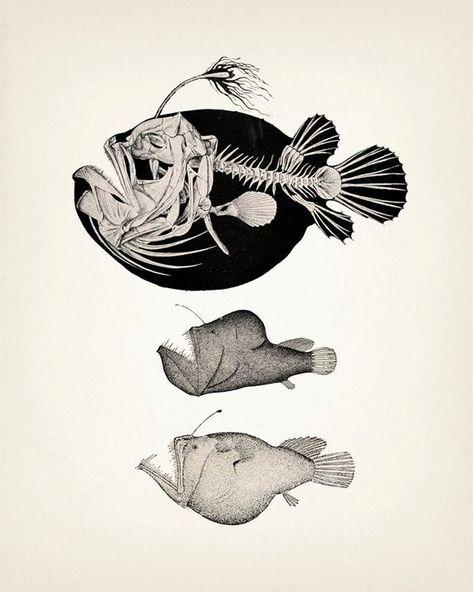 Angler Fish Skeleton Scientific Anatomy Drawing Oe 01 Fine Art
