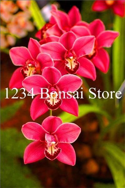 Big Sale 100 Pcs Rare Cymbidium Orchid Plants African Cymbidiums Plantas Phalaenopsis Bonsai Flower Seedling For Home G Orchidaceae Orchid Plants Bonsai Flower
