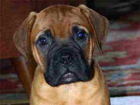 List of Pinterest bullmastiff dogs english gentle giant