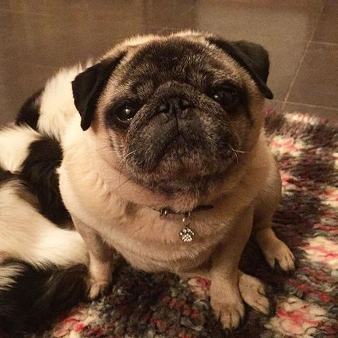 Uncle Max Is Settling In Well For An Old Boy He S Pretty Fit And Feisty Rescuedog Pug Pugs Puppy Pugsofinstagr Pugs Pug Love Rescue Dogs
