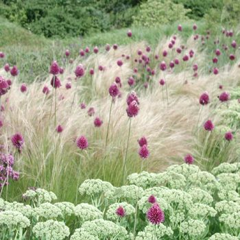 Gräser Und Stauden salvia allium drumstick and ponytail grass garden design