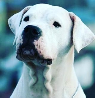 23 Likes 1 Comments Greg Schmidt Tv On Instagram The Dogo Argentino Also Known As The Argentine Masti Great Dane Dane Puppies Great Dane Funny