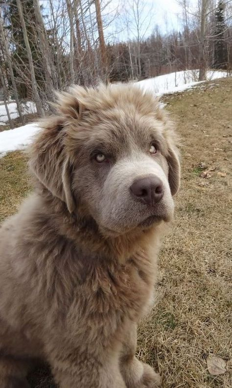 Best Dog Names: 30 Floofy Newfoundland Newfies Dogs newfoundland dog Beautiful Dogs, Animals Beautiful, Cute Animals, Animals Dog, Cute Puppies, Cute Dogs, Dogs And Puppies, Doggies, Massive Dog Breeds