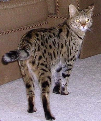 Savannah Cats For Sale F5 And F2 Savannah Kittens Available For