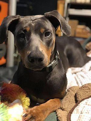 Seattle Wa Doberman Pinscher Meet George A Dog For Adoption