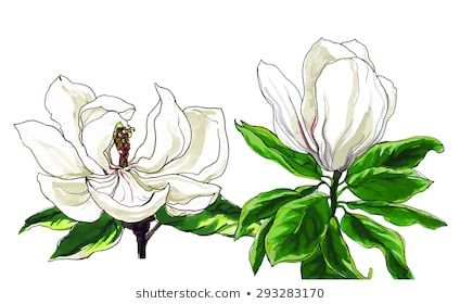 Decorative White Magnolia Flower In Blossom Hand Drawn Watercolor Tropical Flowers Isolated On White Background Botanical Ill Leaf Images Magnolia Flower Magnolia Leaves