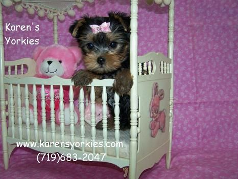 Yorkie Puppies For Sale Yorkies For Sale Yorky Breeder Yorky Puppies Yorkshire Terrier Yorkshire Terri Yorkie Puppy For Sale Yorkie Puppy Puppies For Sale