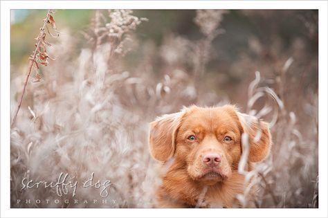 Dog Photography Nova Scotia Duck Toller Morleigh 519 Dog