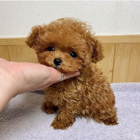 cheap teacup puppies for sale near me