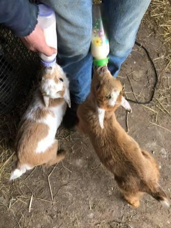 Bend Adorable Bottle Baby Goats For Sale Nigerian Dwarf Craigslist Oregon Goats For Sale Baby Goats Nigerian Dwarf
