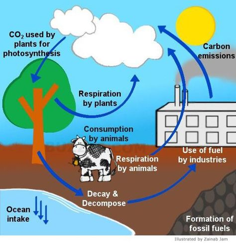 A Brief Guide to the Steps of the Carbon Cycle | olivia