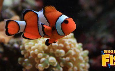 Clown Fish Order