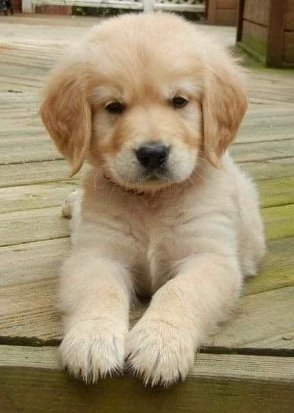 Golden Retriever Puppy Cute Baby Animals Puppies Baby Animals