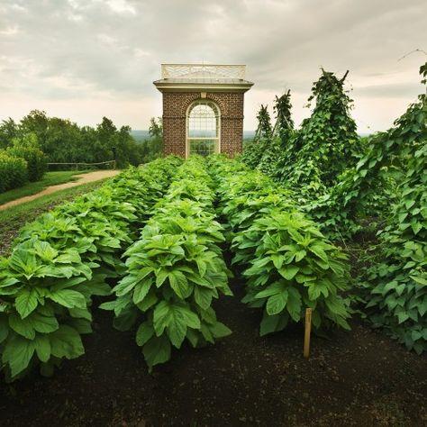 The Vegetable Garden at Monticello