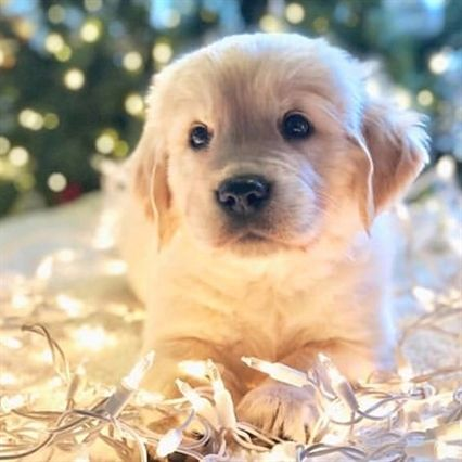 Pin By Jolina On Zhivotnye Really Cute Dogs Golden Retriever Dog Lovers
