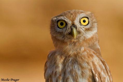 Little Owl (Athene noctua) close-up. Photo by Moshe Prager.