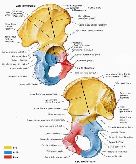 dolore pelvico gland anatomy