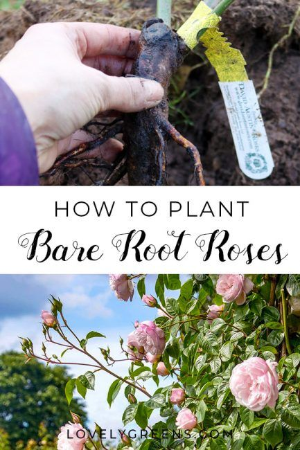 Tips On How To Plant Bare Root Roses Rooting Roses Gardening