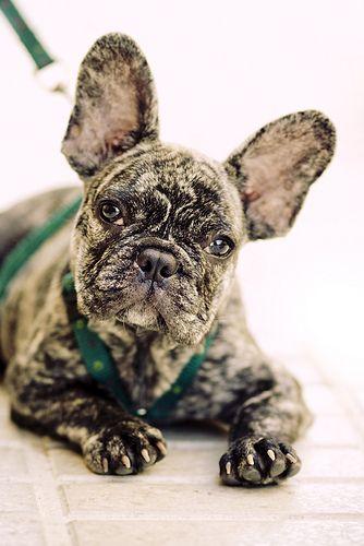 French Bulldog by Alvarictus . So darn adorable!