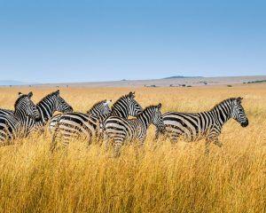 Country Coupling 2 Countries For One Kenya Virtual Safari Zebras
