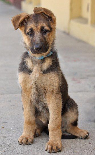 Like Your Dog S Smell That S Normal German Shepherd Dogs