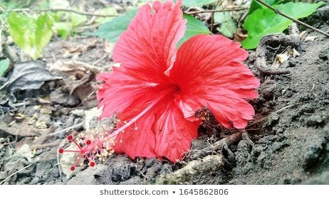 Red Colour Hibiscus Flower My Garden Stock Photo Edit Now 1645862806 In 2020 With Images Hibiscus Flowers Hibiscus Flowers