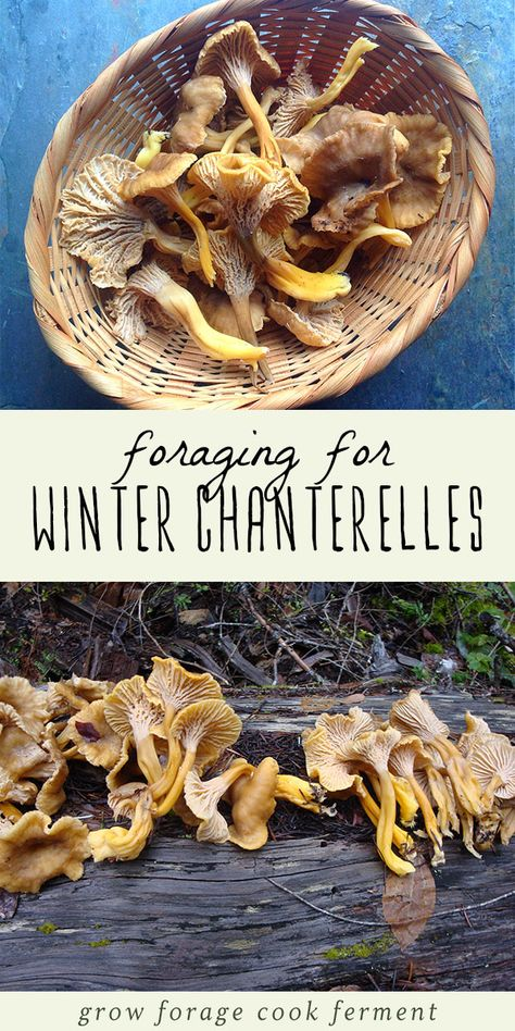Yellowfoot chanterelle mushrooms, or winter chanterelles, are a very special find and a delicious one! Learn how to identify and forage for these wild mushrooms and a recipe for preparing them. Edible Wild Mushrooms, Stuffed Mushrooms, Mushroom Identification, Plant Identification, Growing Mushrooms At Home, Edible Wild Plants, Mushroom Hunting, Edible Food, Wild Edibles