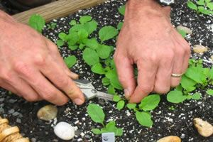 Learn how to thin out your seedlings with the practical advice and tips in this Garden Plants Guide.
