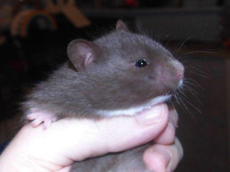 Fluffy Baby Hamster Awww Hamster Syrian Hamster Baby Hamster