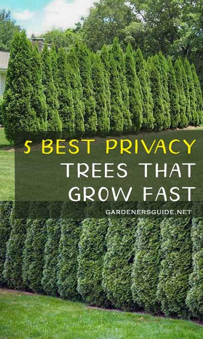 5 Best Trees For Privacy That Grow Fast Privacy Trees Backyard
