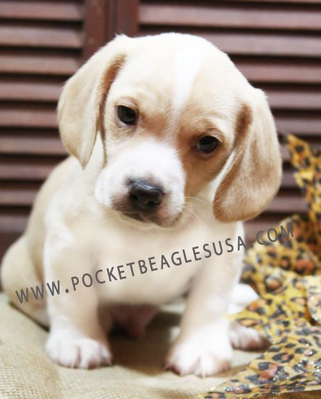 Lemon And White Pocket Beagle Purchased From Pocket Beagles Usa