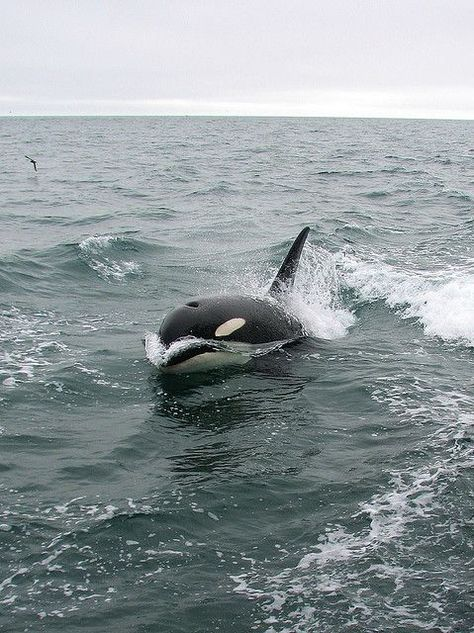 Killer Whale (Orcinus orca) by Crappy Wildlife Photography, via Flickr #wildlifephotography